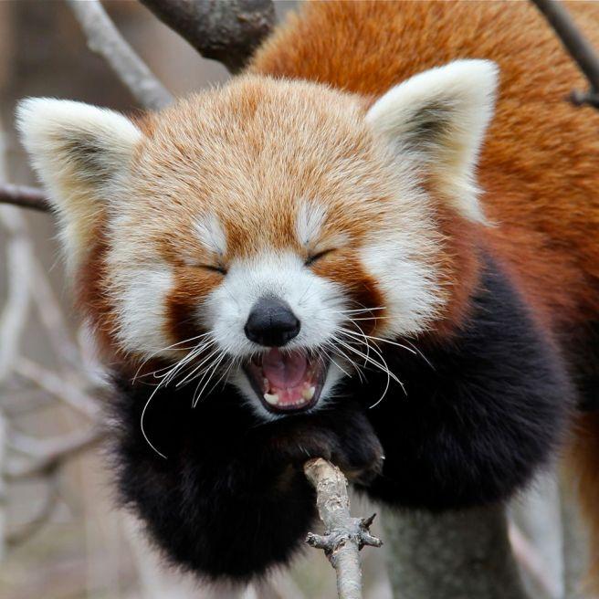 red-panda-05.jpg
